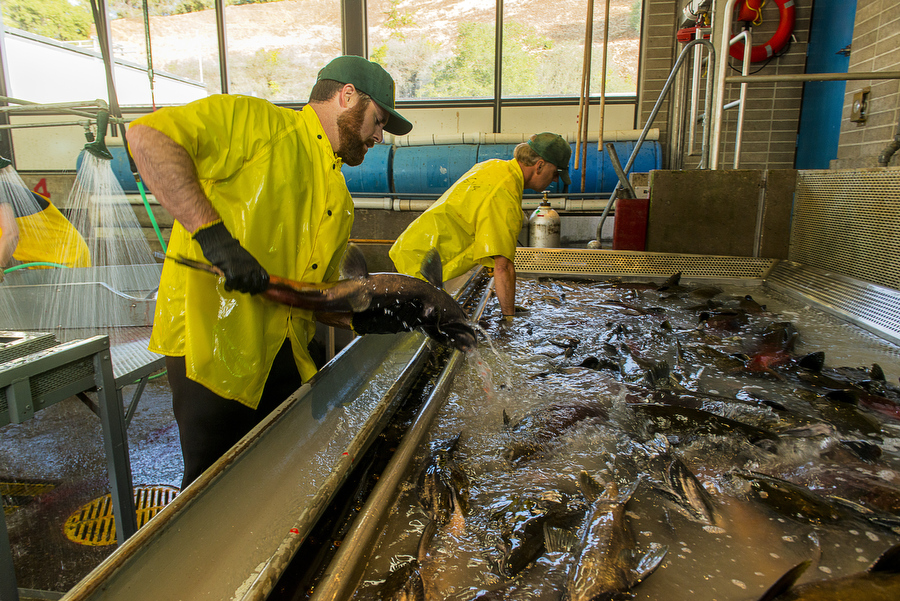 Innovative hatchery practices show promise for salmon for California fish hatcheries